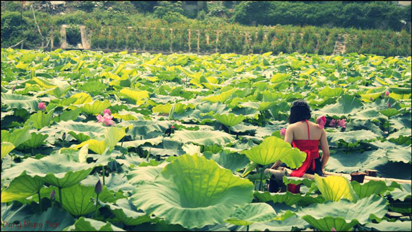lotus in west lake hanoi